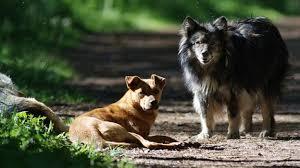 cani selvaggi