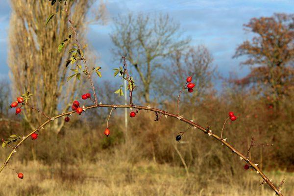 rosa canina, folclore