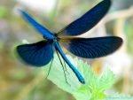 volo libellula